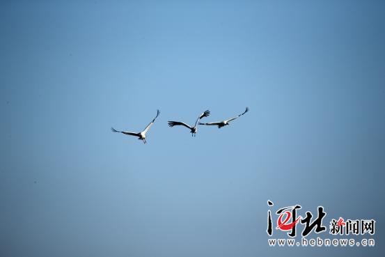 罕见!全球极度濒危鸟类白鹤现身白洋淀