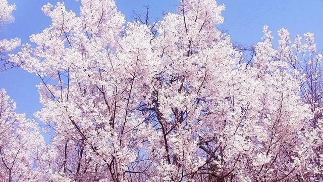 3800亩!河北最美樱花小镇要来了