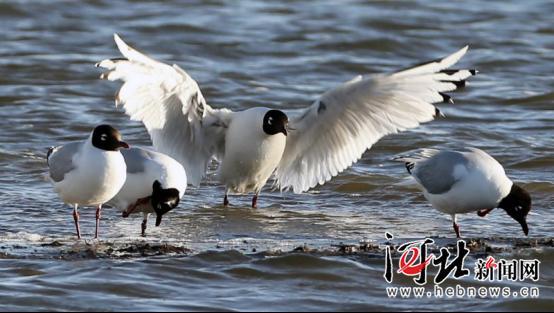 中国·康保遗鸥保护摄影周开幕
