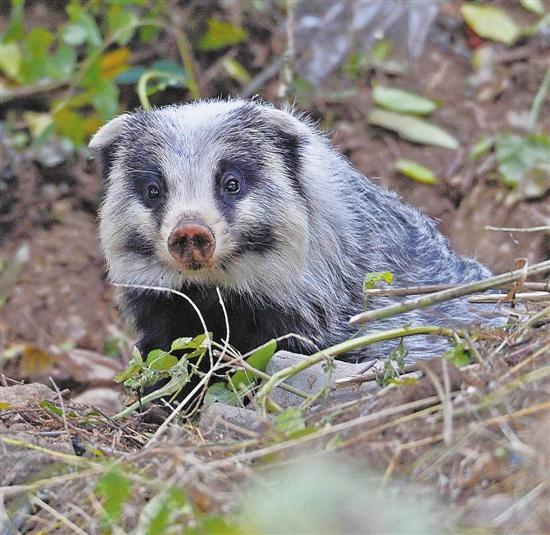 猪獾图片是保护动物