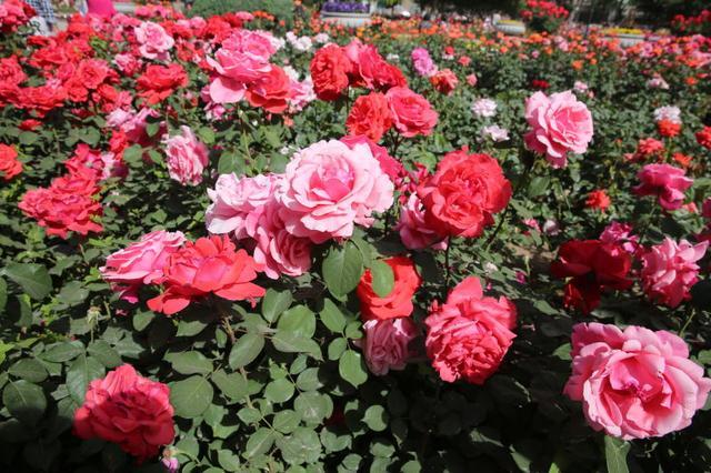 市花月季芳郁浓 栽培比武展风采