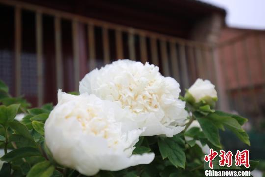 河北兴洲行宫一株300余年白牡丹迎风绽放