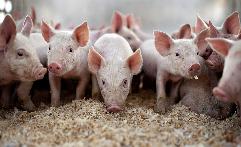 河北省生猪养殖户补栏积极性逐步提高