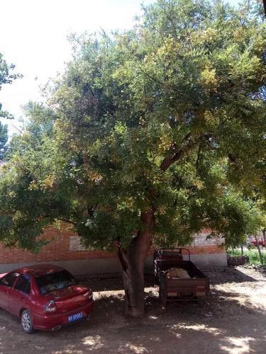 廊坊永清有棵古槐树 网友想申请古树名木保护