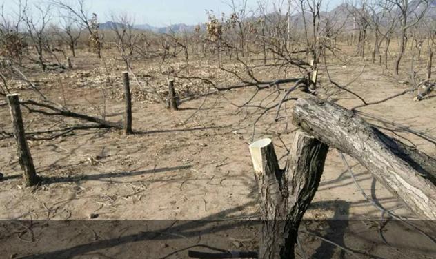 气愤!迁西70岁老人家中近百棵栗树被砍