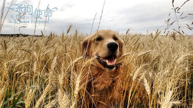 《一条狗的使命》预告海报双发 萌宠四世轮回