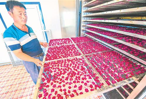 阜城县:发展玫瑰种植 促进农民增收