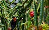 河北唐山:设施农业变冬闲为冬忙