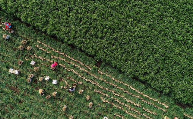 河北唐山:生姜喜获丰收