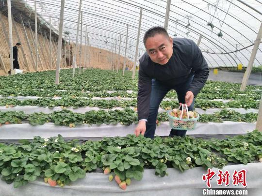 """河北一农民种植20多亩""""白草莓"""" 年入200余万元"""