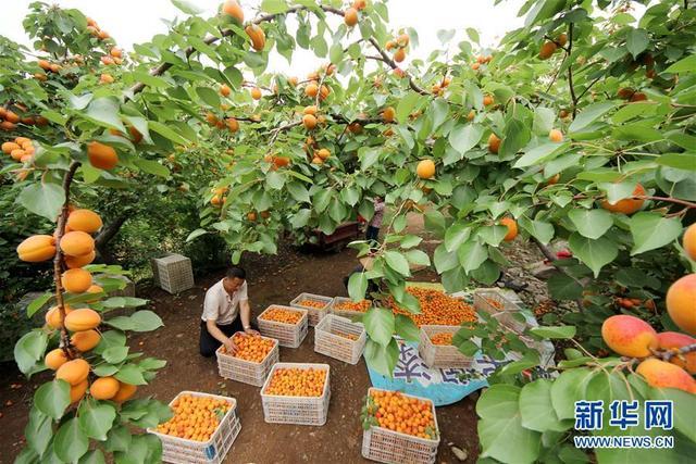 杏丰收 果农乐