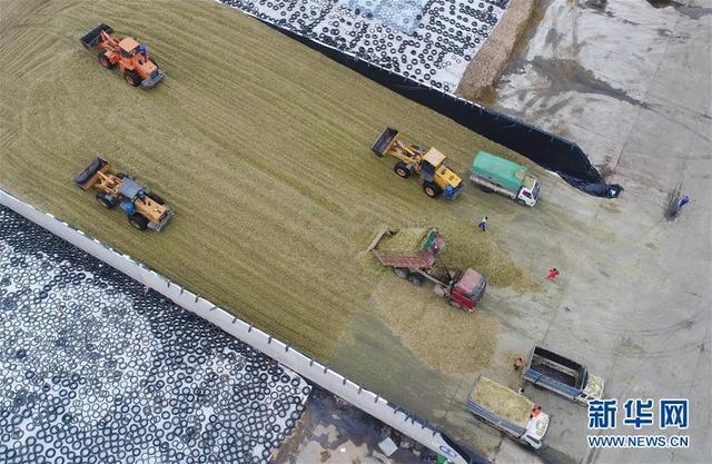 河北故城:订单青贮玉米助增收
