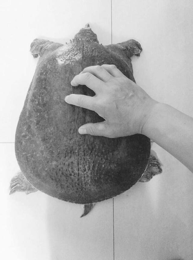 衡水一市民钓到一只巨型野生鳖