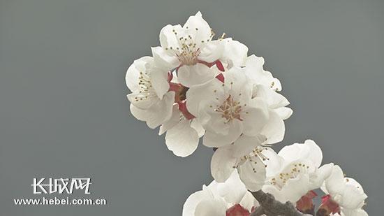 承德县新杖子镇第五届赏花节揭幕