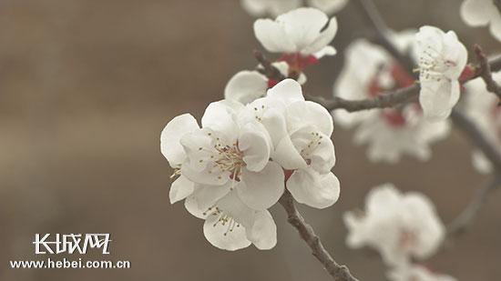 承德县新杖子镇第五届赏花节开幕