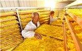 河北威县:特色农业助力脱贫攻坚