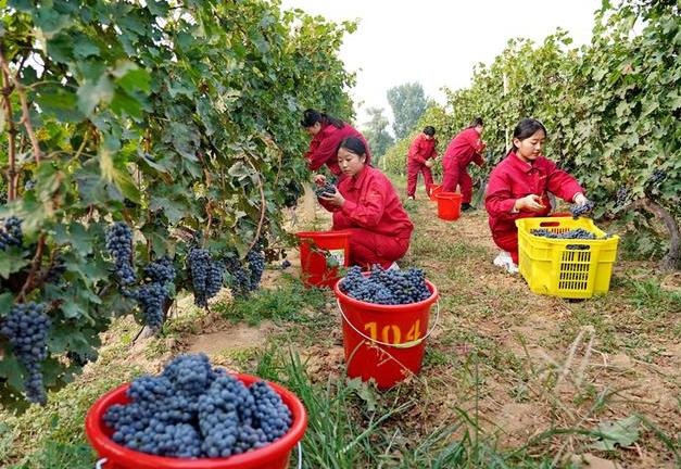 昌黎:收获酿酒葡萄