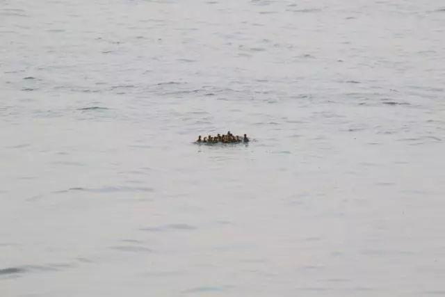 今年首次发现青头潜鸭在衡水湖成功繁殖