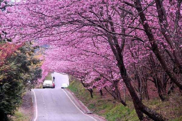 花都开好了 2017台湾赏樱攻略