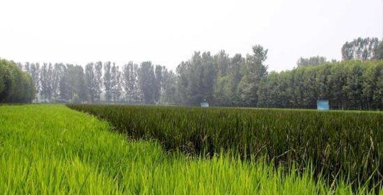 """""""北国小江南"""":航拍京南万亩稻田湿地"""