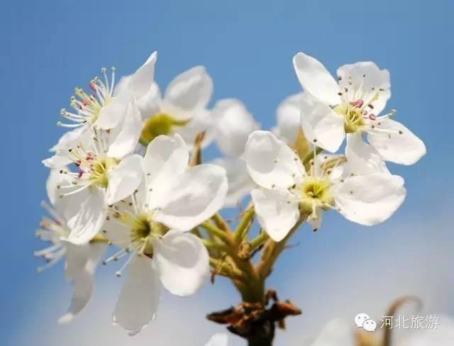 3月河北�@些地方�⒁�美如仙境!最美的春天都在�@里了