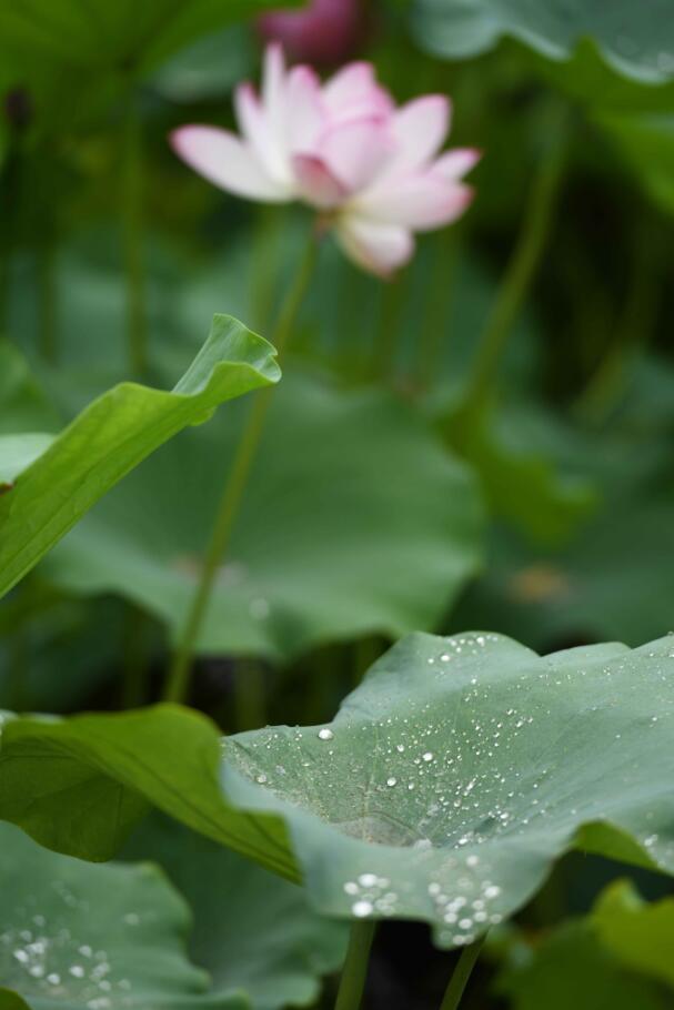 石家�f:雨��荷�