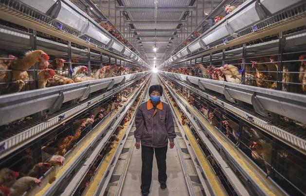 深州:智慧蛋鸡养殖助力乡村振兴