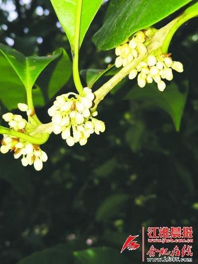 每年秋季,合肥植物园都举办桂花展.