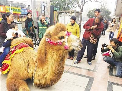 漯河街头有人拉骆驼拍照赚钱 有市民觉得骆驼可怜