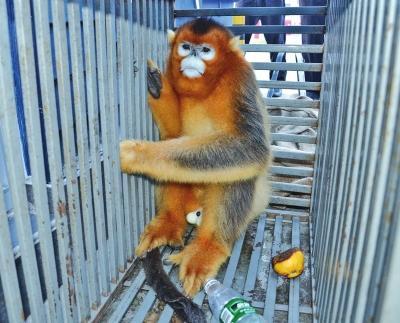 男子驾车高速闯关 途中扔下两只金丝猴逃逸(图)