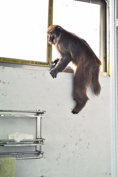 野生猕猴跑进周口农村 专业人员两次麻醉将其生擒