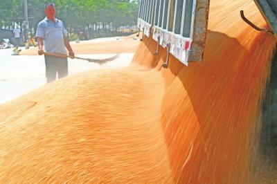 河南夏粮总产量再创历史新高 总产量710.8亿斤