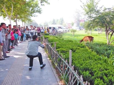 梅花鹿郑州闹市狂奔速度比车快 被麻醉擒获(图)