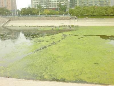 """郑州东风渠遭绿藻封河 管理部门""""跪求""""良策"""