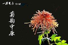 009期:菊韵中原