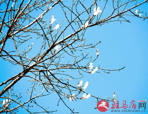 """驻马店三棵杨树冬天开花 专家:或是""""舍命保花"""""""