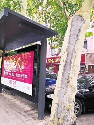 郑州一路口多棵行道树里被填水泥 引市民担心