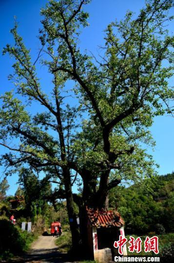 河南南召现古树群落 千年古树被尊为神木祭拜
