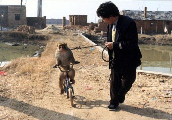 黄爱青在训练猴子学骑车子.-河南新野耍猴人故事 妻子撩衣襟给失母图片
