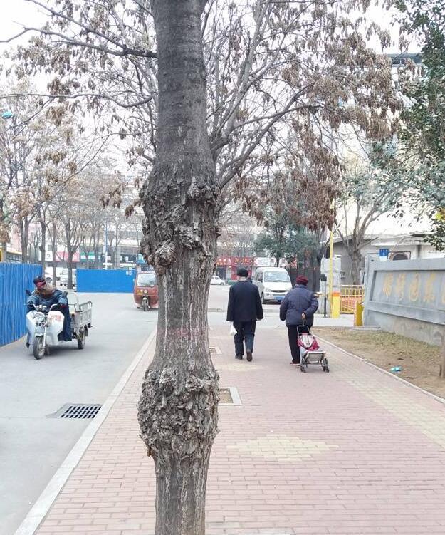 这棵树是病了吗? 百姓热线记者 马龙歌 摄 晨报讯(百姓热线记者 马龙歌)俺孩子看到路边一棵树的树干上长了很多疙瘩,问我这是怎么回事,我不知道怎么跟他解释。百姓热线记者能不能找个专业人士解答一下?12月14日,淇滨区卢女士拨打百姓热线反映。 卢女士说的这棵树位于淇滨区锦绣园东区大门南侧。从远处看,树干上下长着两个大圆疙瘩,好像一个哑铃。走近看,疙瘩上布满了树胶。 淇滨区园林局工作人员称,这棵树是千头椿。 市林业局工作人员称,这棵树应该是得了冠瘿(yng)病。冠瘿病主要发生在树干基部和根部,病初期会出现