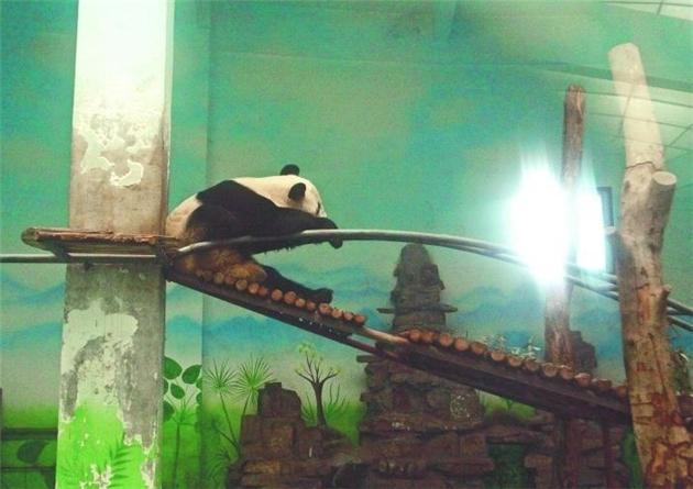 郑州死亡大熊猫本应今春回川相亲 死亡仨疑点