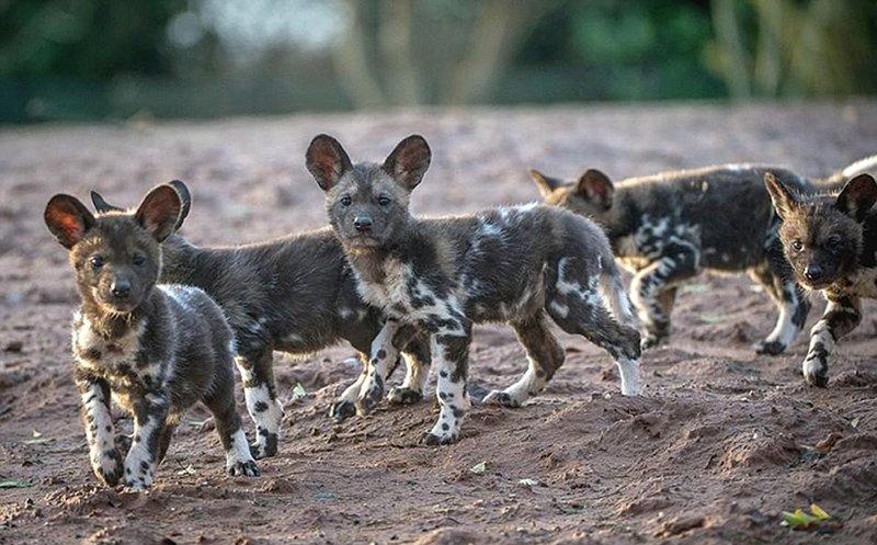 英动物园新生濒危非洲野犬幼崽首次亮相