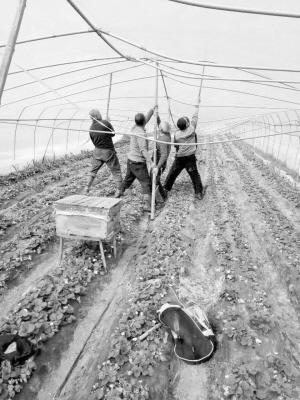 草莓大棚被压毁损失50万 周口农民盼你来采摘