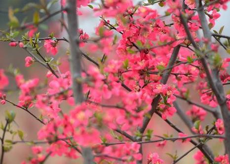 我市西平县将举办首届海棠文化旅游节 4月4日邀您前来