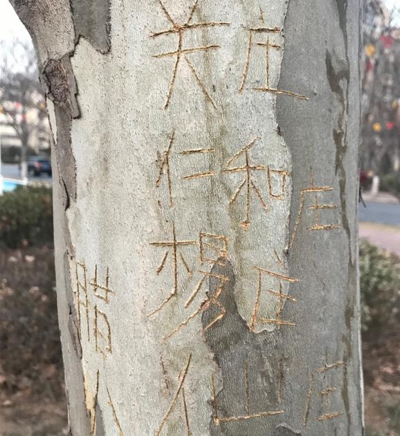 鹤壁一道路旁梧桐树被人刻字 树木枝干受影响