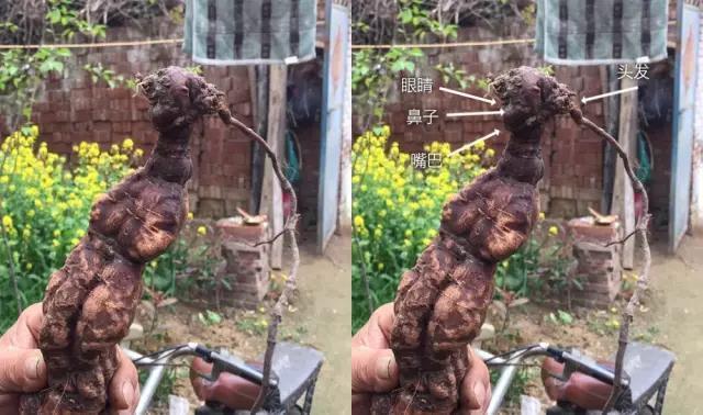 柘城大叔意外挖出人形何首乌 种植超20年