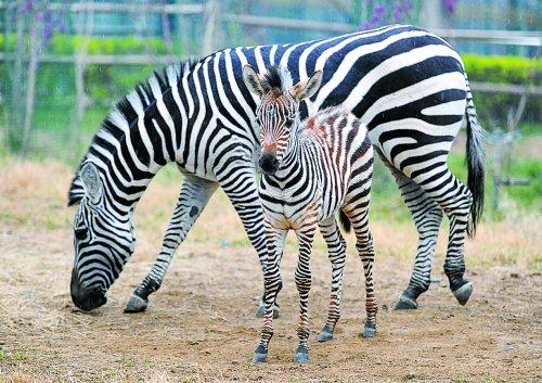 新的一年里,郑州市动物园诞生了一批萌宝宝,比如第一匹小斑马的出世