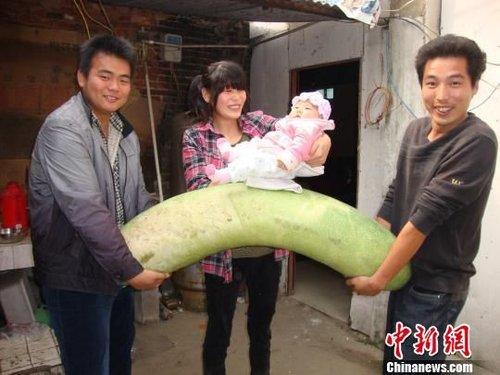 南阳村民收获143公分巨型冬瓜 是普通冬瓜3倍大