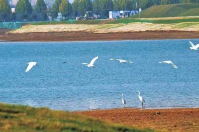 银河国际引黄调蓄工程成生态新景 本来的干枯之地如今白鹭栖息