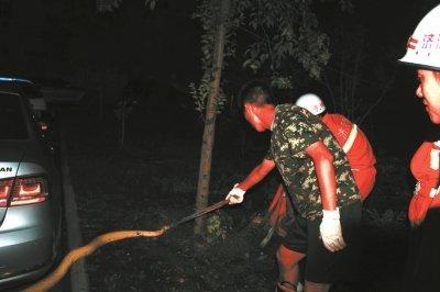 济源一小区现2米多长黄金巨蟒 为居民家养宠物